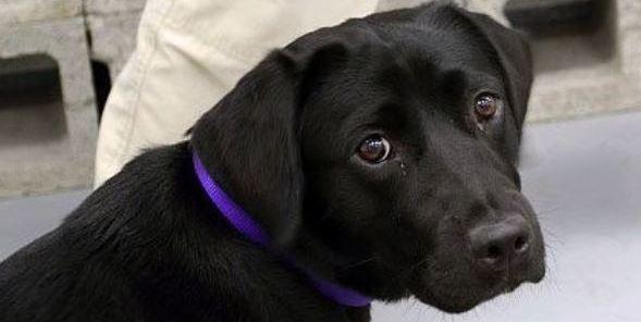 cucciolo labrador nero