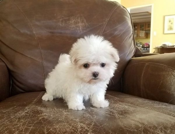 maltese mini toy