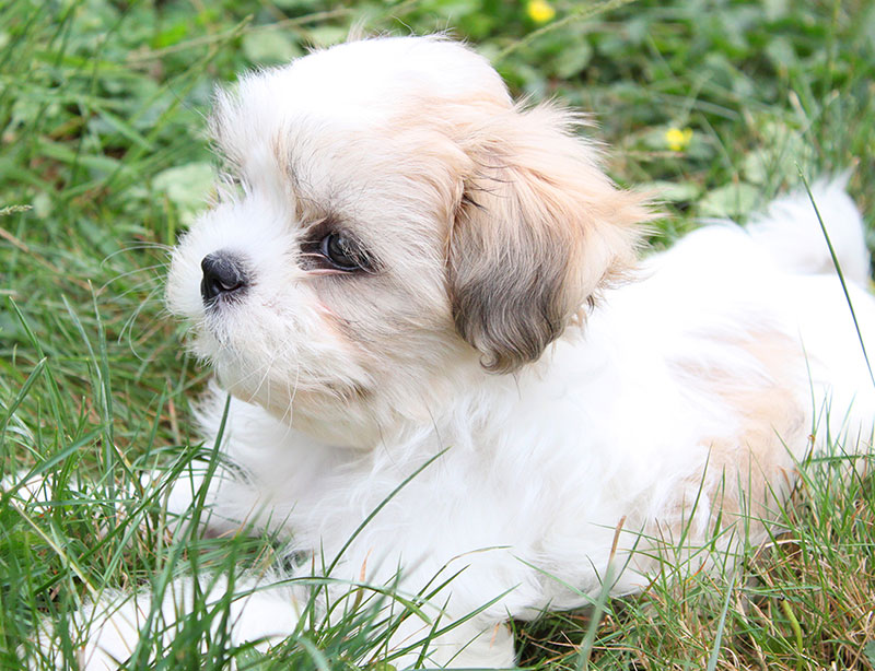 Shih tzu cuccioli mini toy