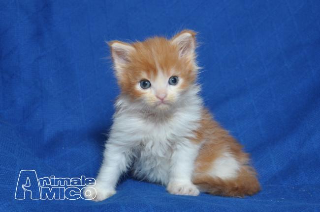 Vendita cucciolo maine coon da privato a verona gatti for Cerco divano in regalo milano