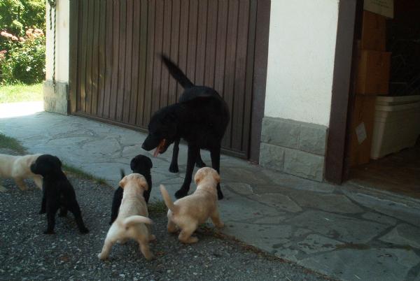 Vendita Cucciolo Labrador Da Privato A Bologna Cuccioli Labrador 12