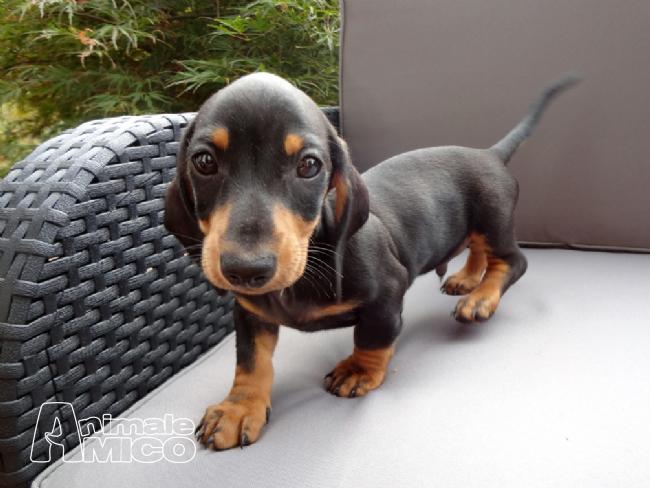 Vendita cucciolo bassotto da privato a bergamo cani for Bassotto prezzo