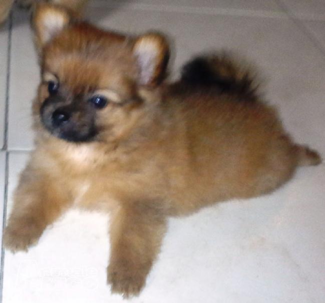Vendita cucciolo spitz tedesco nano da privato a napoli for Cane volpino nano