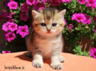 gattino british shorthair golden femmina