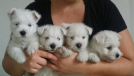 cuccioli west highland white terrier