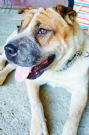 adozione stellina, mix sharpei-australian cattle dog