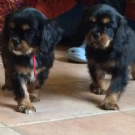 cuccioli cavalier king black and tan