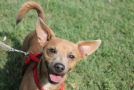 red simil pinscher bassotto festoso