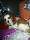 Accoppiamento cavalier king