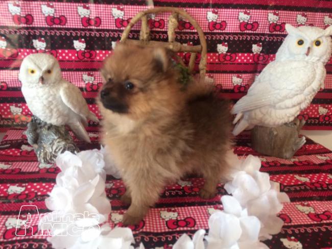 Vendita cucciolo spitz tedesco nano da privato a milano - Spitz toy prezzo ...