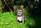 disponibile cucciolo di american bully abkc-ebkc