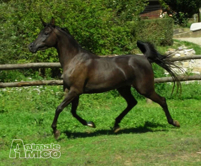 Vendita arabo da privato a roma animali da cortile arabo for Cavalli in vendita in trentino