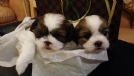 sshihtzu toy cuccioli. disponibili