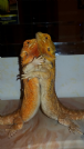 coppia pogona vitticeps (drago barbuto) orange/red