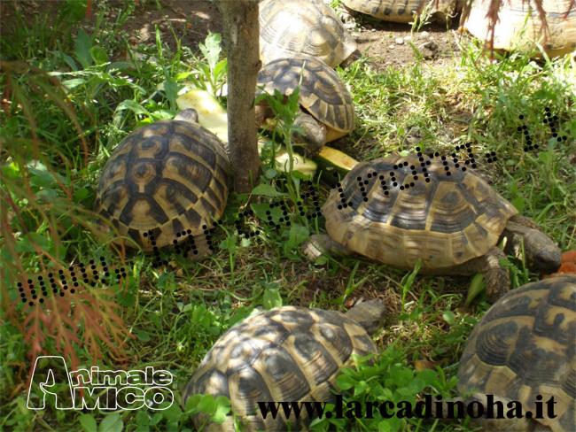 Vendita testudo hermanni da privato a milano rettili for Vasca tartarughe vendita
