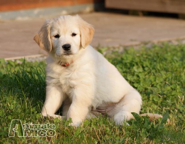 Cuccioli Golden Retriever 1 Mese