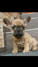 Vendita bulldog francese red fawn