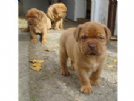 vendo cuccioli di dogue de bordeux