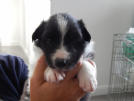 vendo cuccioli di border collie