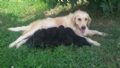 splendidi cuccioli incrocio golden-pastore belga