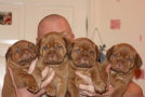 cuccioli dogue de bordeaux