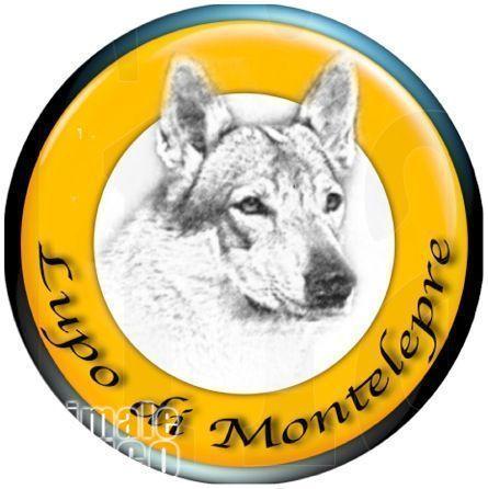 in cerco cuccioli di cane lupo cecoslovacco in regalo regalo e in  adozione su adottamisubito.it. raider è un bellissimo miciotto di sconti  abbonamenti