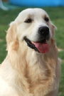 maschio golden retriever