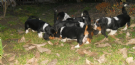 cuccioli bassethound