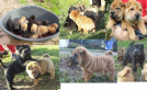 disponibile cuccioli shar-pei