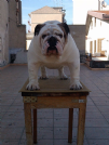 Accoppiamento bulldog con pedigree da privato