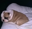 bulldog inglese con pedigree disponibili