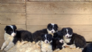 cuccioli di border collie con pedigree