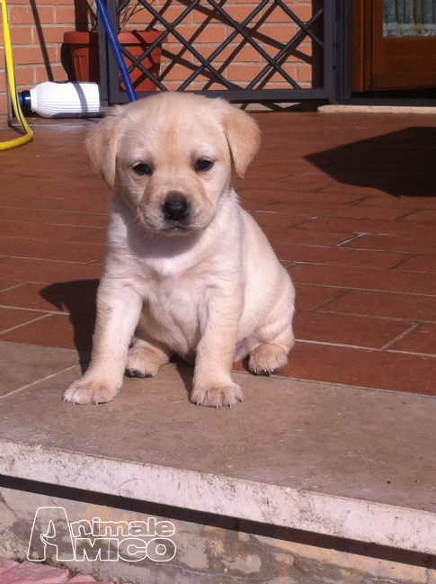Cuccioli labrador roma