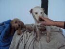 Regalo bloodhound