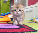 cuccioli scottish fold e stright