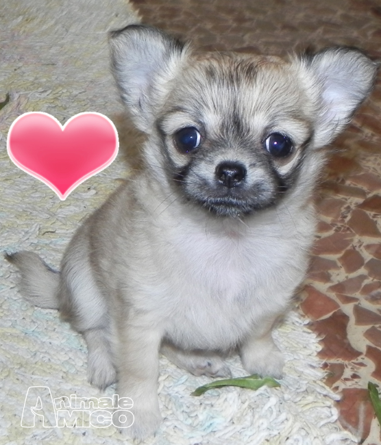Vendita Cucciolo Chihuahua Da Privato A Firenze Cucciole Chihuahua