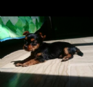 yorkshire terrier toy maschio per accoppiamento