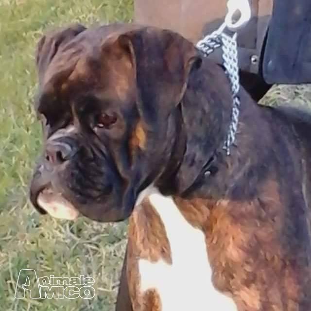 Aereo Privato Cani : Vendita cucciolo boxer da privato a ancona cani in