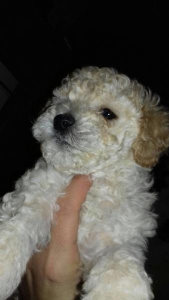 Vendita cucciolo barboncino da privato a lecce cani for Cani giocherelloni