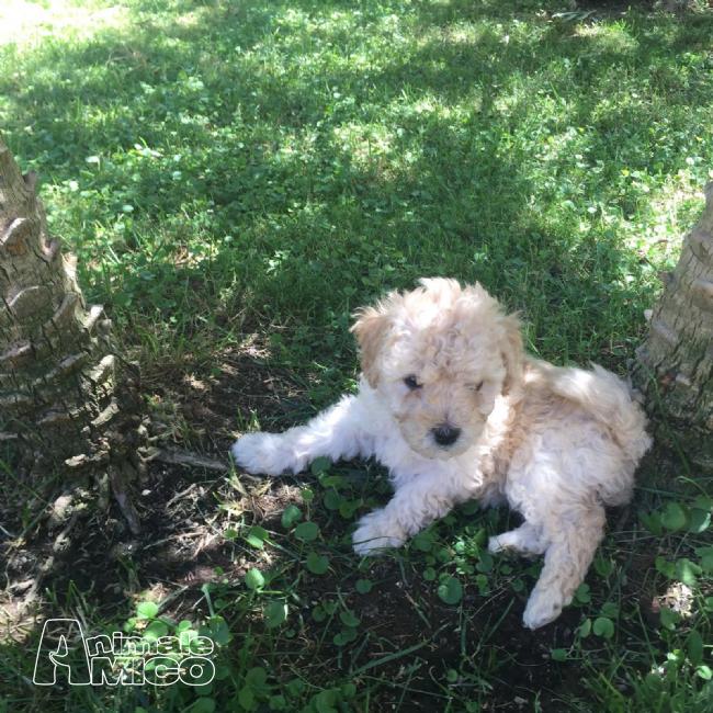 Vendita cucciolo barboncino da privato a brindisi cani for Carattere barboncino