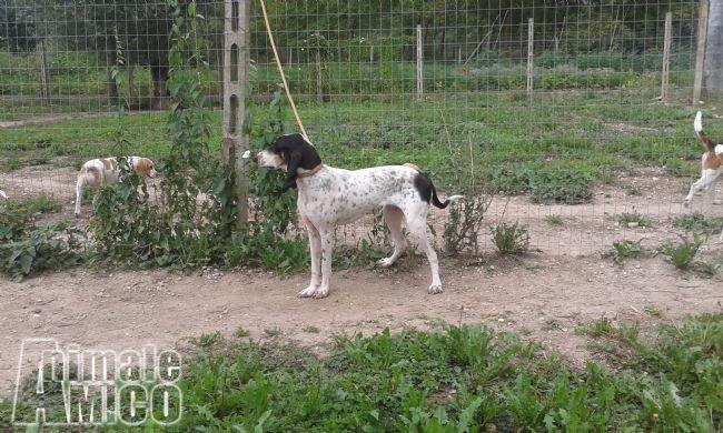 Vendita Da Privato A Aq Cani Addestrati Per La Caccia Al Cinghiale