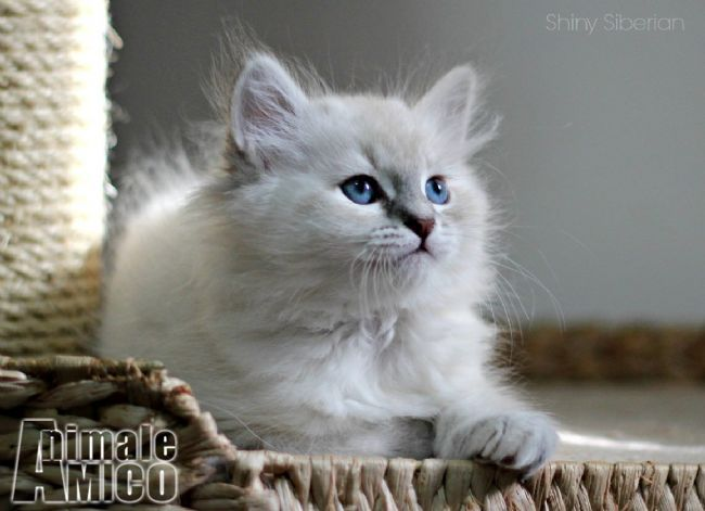 Vendita Cucciolo Siberiano Da Privato A Cuccioli Di Gatto Siberiano