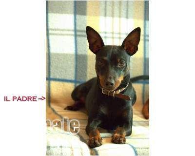Vendita cucciolo pinscher da privato a roma cuccioli for Pinscher nero
