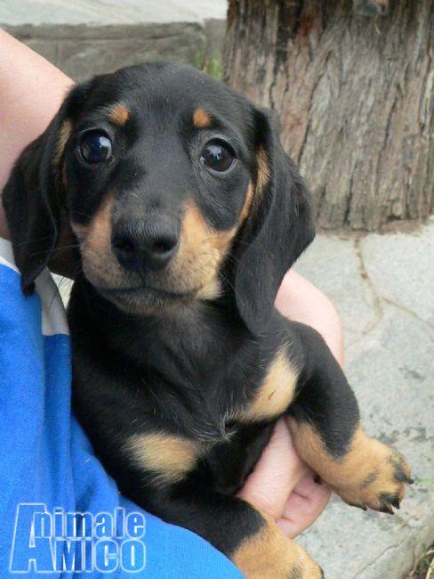 Vendita cucciolo bassotto da allevatore a asti cani for Bassotto nano carattere