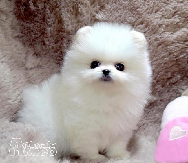 Vendita cucciolo volpino pomerania da privato a roma cani for Regalo annunci