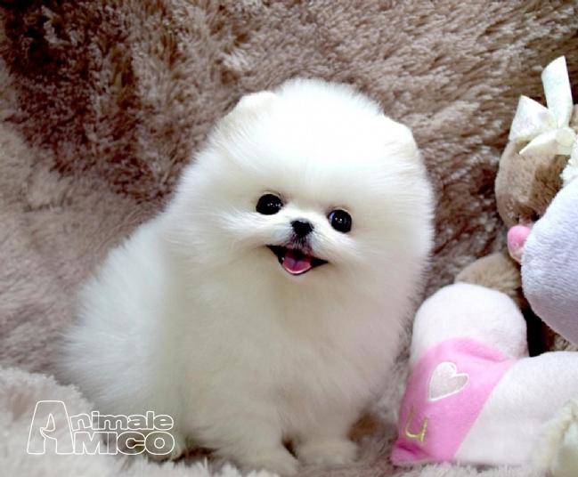Vendita cucciolo volpino pomerania da privato a roma cani for Volpino pomerania nano