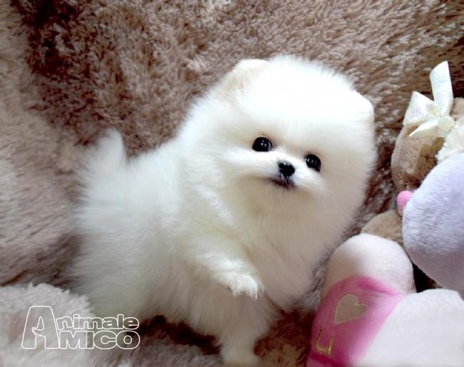 Vendita cucciolo volpino pomerania da privato a roma cani - Spitz toy prezzo ...