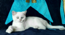 british shorthair silver point