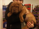 due cuccioli maschi dogue de bordeaux