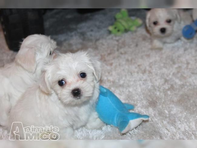 Vendita cucciolo maltese da privato a milano cani maltese for Cani giocherelloni
